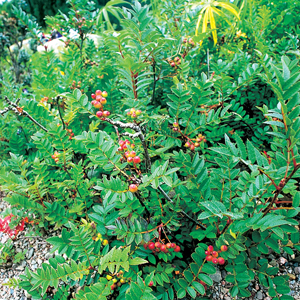 Sorbus reducta